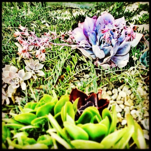 Purple plant with pink blossom #succulent #plant #igerssf #sanfrancisco #sf #purple (Taken with Instagram)