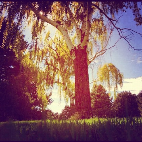 #tree #trees #nature #weeping #willow #weepingwillow #nature #outside #outdoors #park #green #grass #blue #sky #sun #sunlight #day #summer (Taken with Instagram)
