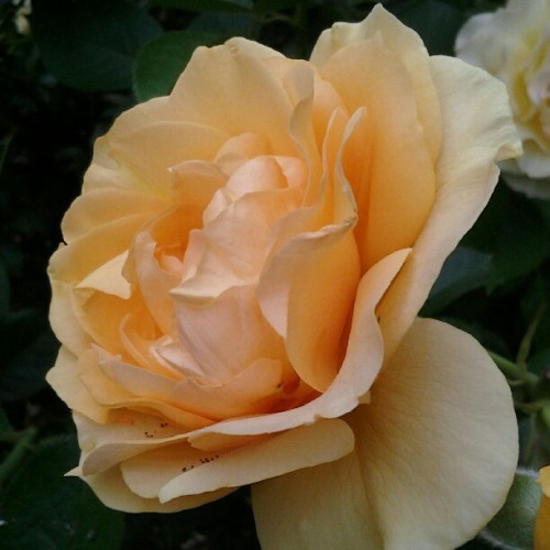 The rose garden is just, y'know, photogenic and stuff (Taken with Instagram)