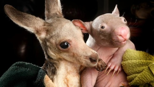 An orphaned kangaroo cuddling with an orphaned wombat at the Wild About Wildlife Rescue Centre in Kilmore, Victoria. Courtesy of io9