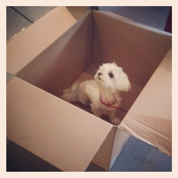 Who wants to receive a cute package? #maltese (Taken with Instagram)