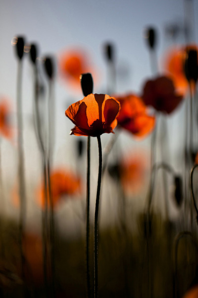 Coquelicots & lever de soleil by M4thi3u | www.mathieulegrand.fr on Flickr.