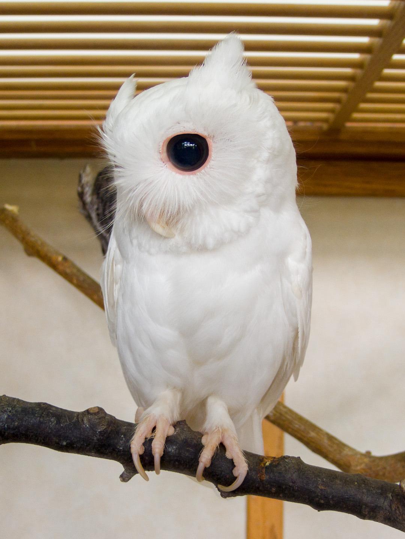 owlday:  Albino Eastern Screech Owl