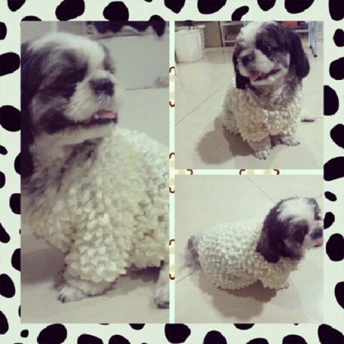 Haha this shirt makes her look like a #sheep #petstagram #pets #mocharoo #shihtzu #puppy #happydog #cute #igers #igerscebu #igersphilippines #housedog  (Taken with Instagram)