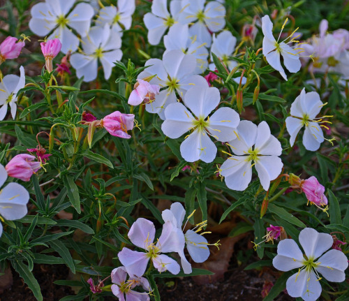 Oenothera pallida at dawn. This photo needs smell-o-vision. Photo credit Steve Hegji.