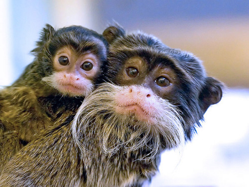 theanimalblog:  Emperor Tamarins  All right, these guys don't even look real.