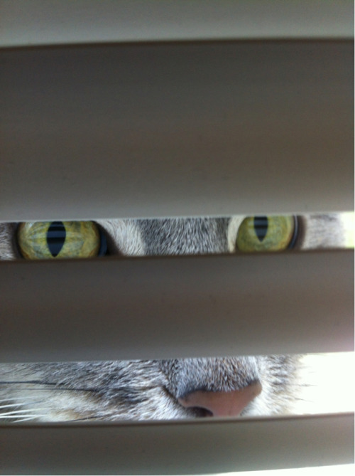 My kitty Orion, aka Olay, likes to hang out behind the blinds.