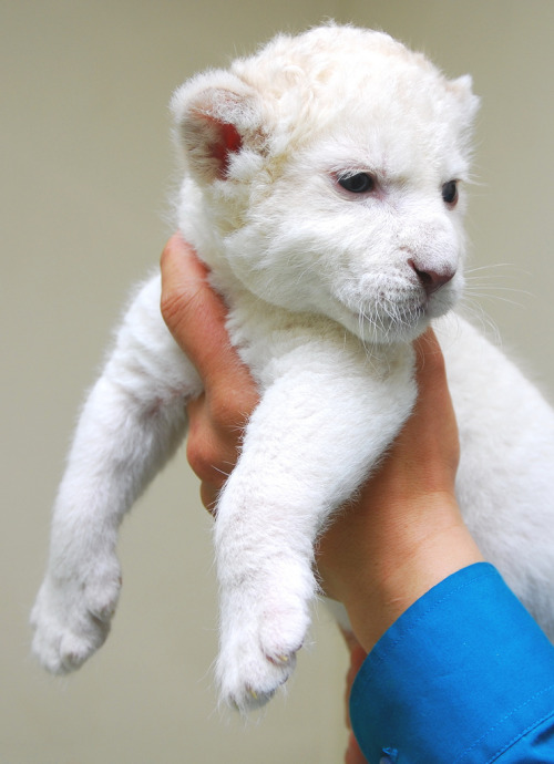 White Lion (by floridapfe)