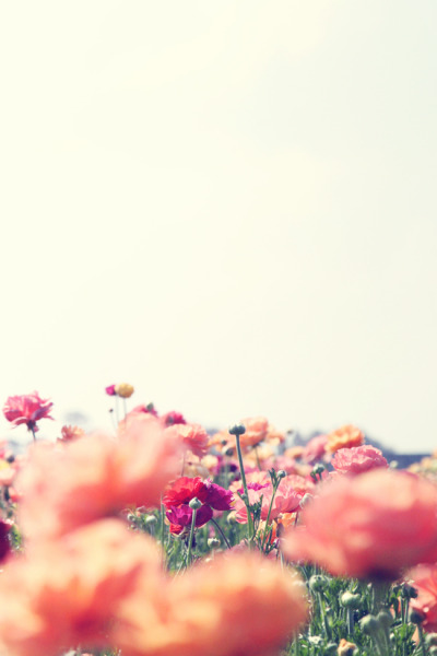 thesublimeandridiculous:  Flower Fields