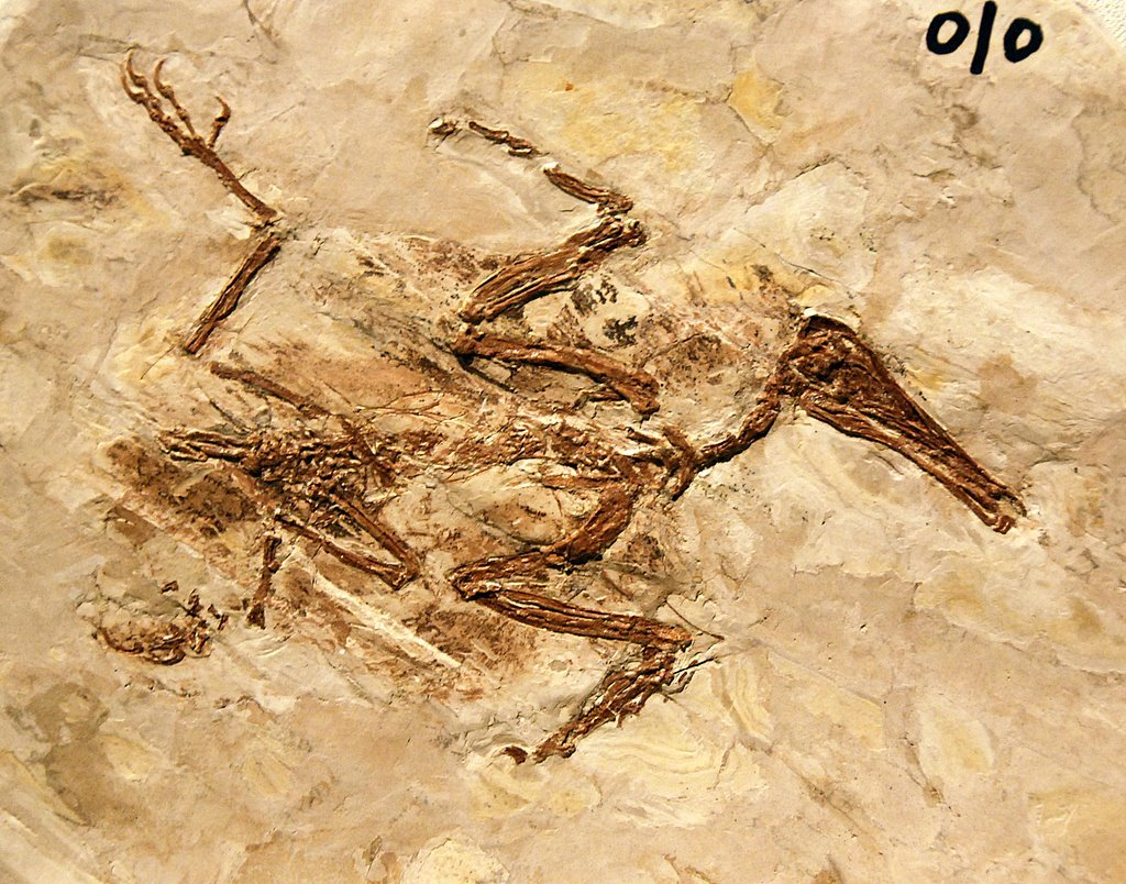 Longipteryx chaoyangensis from the Yixian Formation. It lived during the Cretaceous, and was about the same size and design as a small kingfisher.The fine deposits here preserved its feathers as well.