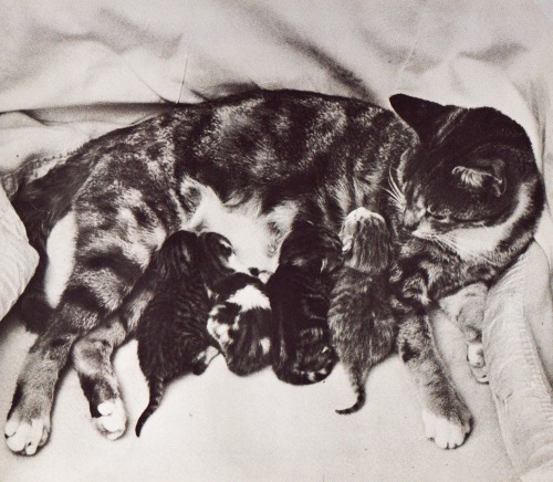 The Birth of Sunset's Kittens by Carla Stevens ~ pictures by Leonard Stevens ~ Young Scott Books, 1969
