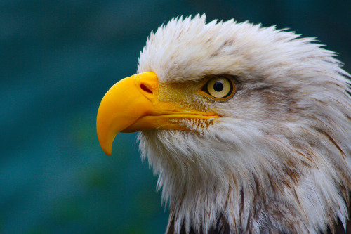 thedirect0r:  'merica   The Bald Eagle