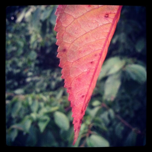 #leaf #nature #red  (Taken with Instagram)