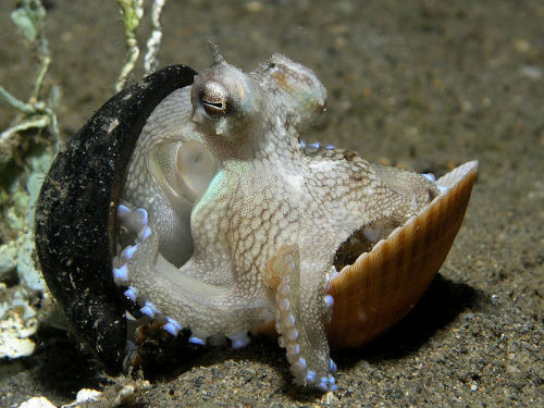 "tachypomp:  Image description:""Octopus marginatus hiding between two shells from East Timor. This small octopus of no more than 4-5 cm in diameter was observed on a night dive, using one nut shell and one clam shell to hide between. When the octopus felt there was no threat, it came out of the shells and using the inner parts of its tentacles, proceeded to carry the shells while pulling itself along with the outer tips of the same tentacles. Sensing any threat, the octopus clamped itself shut between the shells with amazing speed."" Credit: Nick Hobgood ""Amphioctopus marginatus, also known as the coconut octopus and veined octopus, is a medium-sized cephalopod belonging to the genus Amphioctopus. It is found in tropical waters of the western Pacific Ocean. It commonly preys upon shrimp, crabs, and clams, and displays unusual behaviour, including bipedal walking and gathering and using coconut shells and seashells for shelter. In March 2005, researchers at the University of California, Berkeley, published an article in Science in whichA. marginatus was reported to have a bipedal behavior. It is one of only two octopus species known to display such behavior, the other species being Abdopus aculeatus. According to the article, this behavior was discovered in an area off Sulawesi, Indonesia, where the sandy bottom was littered with coconut shells. The bipedal motion appears to mimic a floating coconut. Researchers from the Melbourne Museum in Australia observed the creature's use of tools for defense, and the use of available debris to create a defensive fortress. The discovery of this behavior, observed in Bali and North Sulawesi in Indonesia between 1998 and 2008, was published in the journal Current Biology in December 2009. The researchers filmed A. marginatus collecting coconut half-shells, discarded by humans, from the sea floor, carrying them up to 20 meters (66 ft), and arranging the shells to form a spherical hiding place akin to a clamshell. Although octopuses often use foreign objects as shelter, the sophisticated behavior of A. marginatus when they select materials, carry and reassemble them, is unusually complex."""