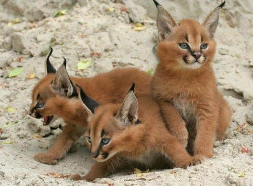 Caracal KittensThe Caracal is distributed over Africa, the Middle East, Pakistan and India. Its chief habitat is dry steppes and semideserts, but it also inhabits woodlands, savannah, and scrub forest. They generally prefer open country,  as long as there is sufficient cover, in the form of bushes and rocks, from which to ambush prey.Its life expectancy in the wild is 12 years, and 17 years in captivity. The caracal may survive without drinking for a long period — the water demand is satisfied with the body fluids of its prey. Since it is also surprisingly easy to tame, it has been used as a hunting cat in Iran and India.