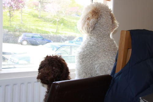 Makes: Labradoodles… Names: Douglas (the small dog) and Fletcher (the big dog) Notes: Looking out of a window!