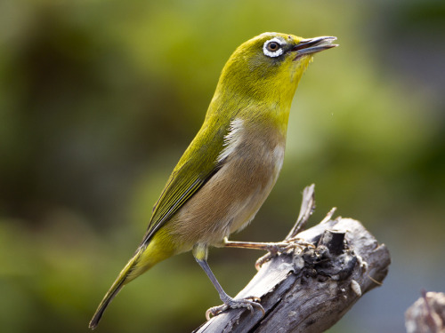 "Not a Black Eye, A White Eye! 500px / Photo ""Jananese white-eye"" by TS Kim @500px.com"
