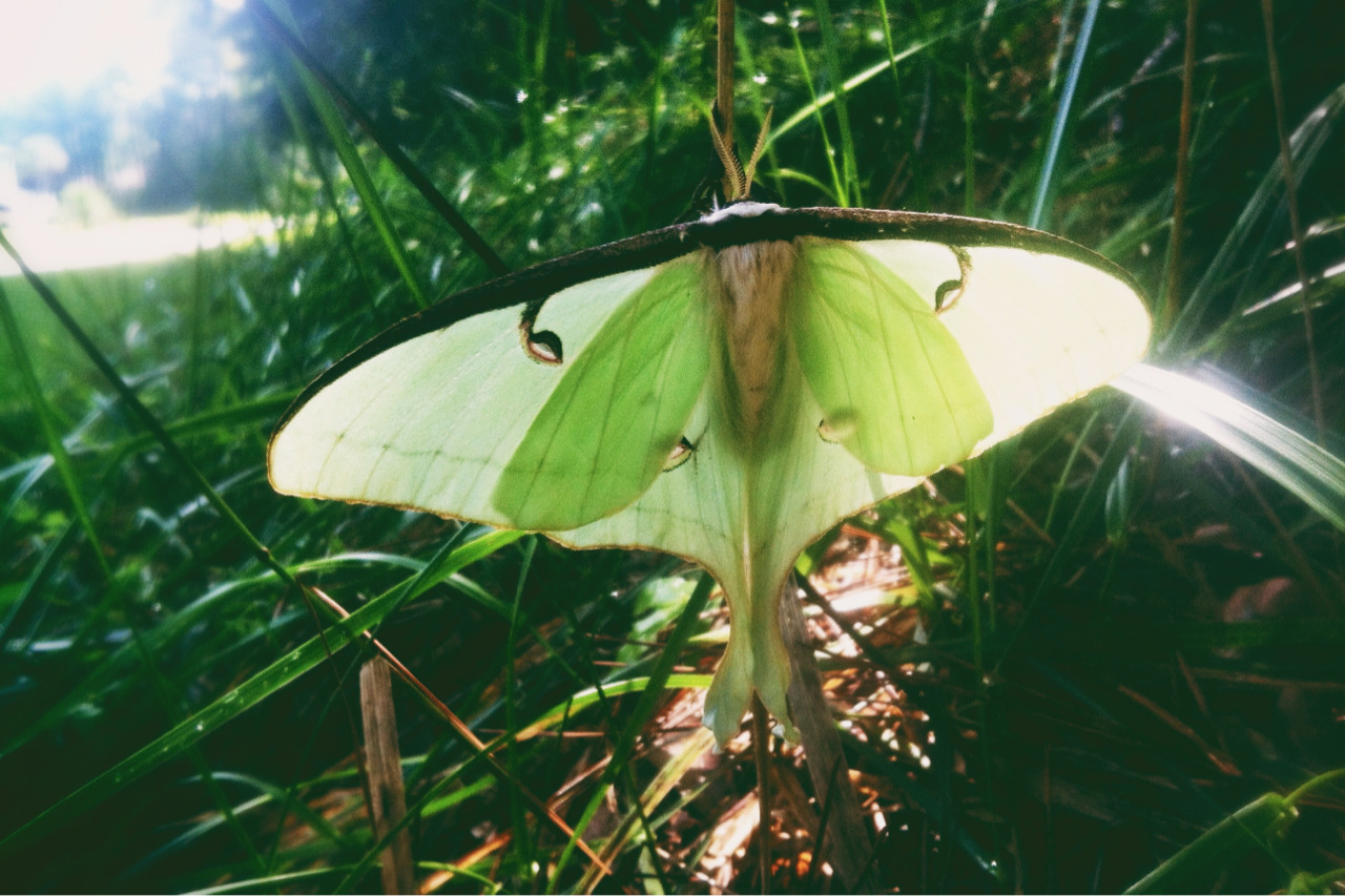 218 - the green moth