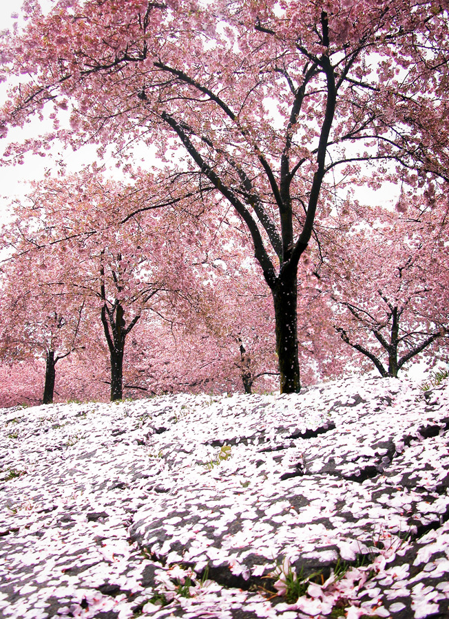 furples:  the pink hail of cherry blossom storms