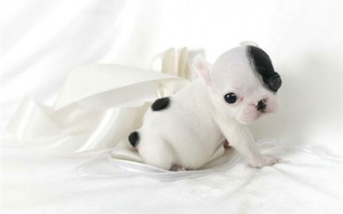 French Bulldog Puppy via:cutestpaw. For the Dog Lovers,Todays Cuteness:)