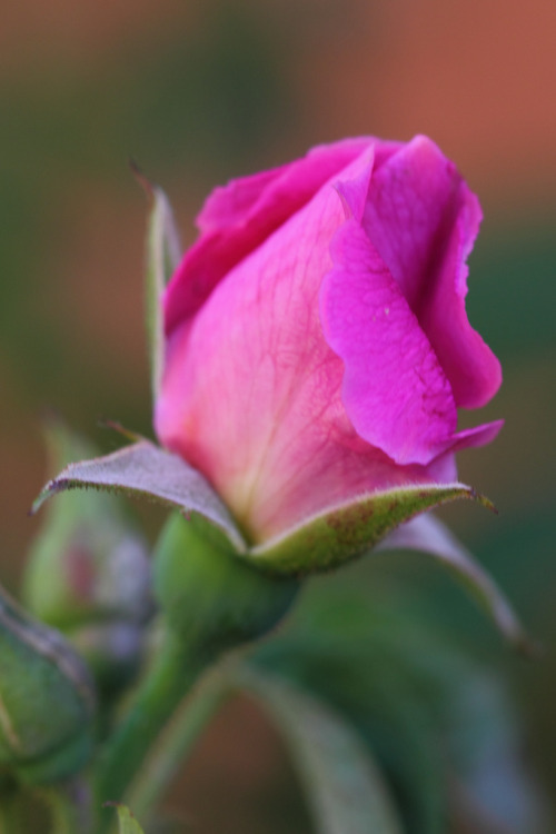 coloredmondays:  Rose bud