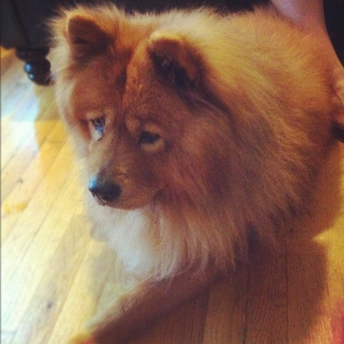 If Basil were a #dog he'd be a chow chow. This is the pup of @socialyteco (Taken with Instagram)
