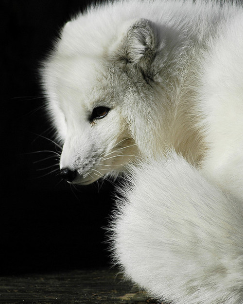 magicalnaturetour:  Arctic fox by ucumari on Flickr. :)