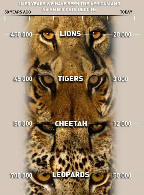ilovecharts:  The Decline Of Big Cats