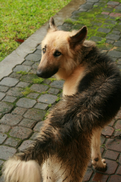 fuckyeahgermanshepherds:  Giant. :)