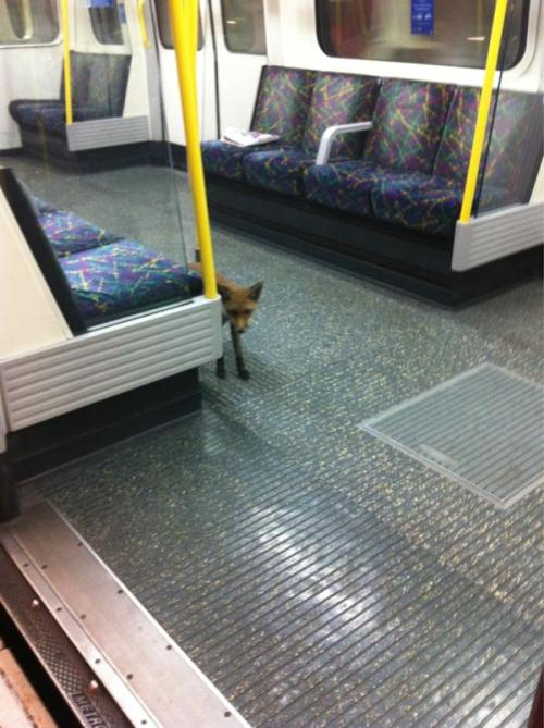 Fox cub on the London Underground