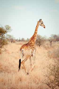 villere:  Giraffe (by .dklemans)