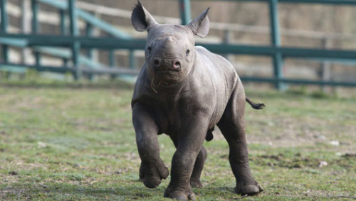mothernaturenetwork:  Baby rhinos get second chance in South African orphanageAlmost 300 rhinos have been poached across South Africa since the start of the year, after 448 were killed last year.