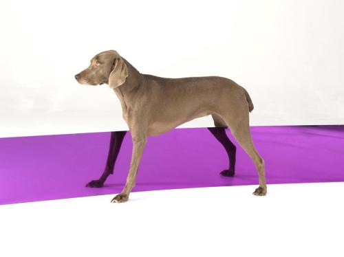 William Wegman Leg Wand, 2008