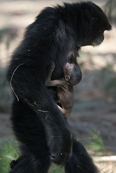 theanimalblog:  Ramat Gan, Israel: A seven-day-old unnamed Siamang gibbon is carried by his mother Jamby at the safari park Photograph: Uriel Sinai/Getty Images