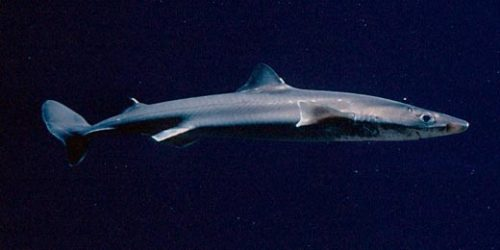 We recently added three spiny dogfish sharks to the Monterey Bay Habitats exhibit, and will be releasing two in the near future! These sharks are aggressive and have a reputation of relentlessly pursuing their prey—though we don't have to worry about this on exhibit, where our animals are well fed by aquarists.
