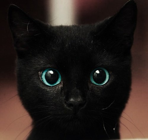 Blue eyes black cat