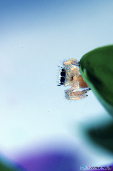 Jumping Spider on Flickr.