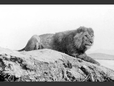 rhamphotheca:   A Glimpse of What We've Lost:  The Barbary Lion by Mat McDermott Formerly found from Morocco to Egypt, the Barbary lion (also known as the Atlas lion or Nubian lion) was the largest and heaviest of the lion subspecies. Unlike other lions, due to scarcity of food in its habitat, the Barbary lion did not live in prides. The last wild Barbary lion was shot in the Atlas Mountains of Morocco in 1922. However, questions remain about whether some lions held in captivity at zoos or in circuses may be descendants of the Barbary lion. Historical note: Lions used in gladiatorial combat in Roman times were most likely Barbary lions. The photo above dates from 1893 and was taken in Algeria. (via: TreeHugger)       (photo: Sir Alfred Edward Pease, 1893)