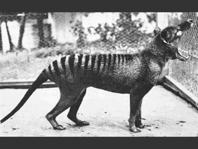 rhamphotheca:   A Glimpse of What We've Lost:  The Thylacine aka Tasmanian Tiger by Mat McDermott The largest carnivorous marsupial in modern times (standing about 2' tall and 6' long including the tail), the Thylacine once lived in mainland Australia and New Guinea, by the time of European settlement it was already nearly extinct, due to human activity. In Tasmania however (hence, the more common name of Tasmanian tiger or Tasmanian wolf) it lived on, with the last one confirmed killed in the wild in 1930. The last Thylacine in captivity, pictured above, died in 1936. That said, through the 1960s people suspected that the Thylacine may have held on in small pockets, with the final declaration of extinction not happening until the 1980s. To this day however, occasional reports of sightings surface in Tasmania and New Guinea. (via: TreeHugger)       (photographer: unknown, 1933)