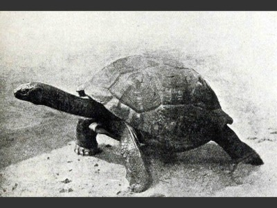 rhamphotheca:   A Glimpse of What We've Lost:  The Seychelles Giant Tortoise by Mat McDermott There's some controversy over whether the Seychelles Giant Tortoise is extinct altogether or just extinct in the wild. In the 19th century the Seychelles Giant Tortoise, much like similar tortoise species on other Indian Ocean islands, was hunted to extinction. Prior to being wiped out in the wild by the 1840s, it lived only the edges of marshes and streams, grazing on vegetation. In captivity however, there is some hope that a dozen tortoises on La Digue Islandmay in fact be Seychelles Giant Tortoises. Furthermore, one tortoise, believed to now top 180 years old and kept on Saint Helena (an island in the South Atlantic), may also be of the species. (via: TreeHugger)       (photographer: unknown, 1905)