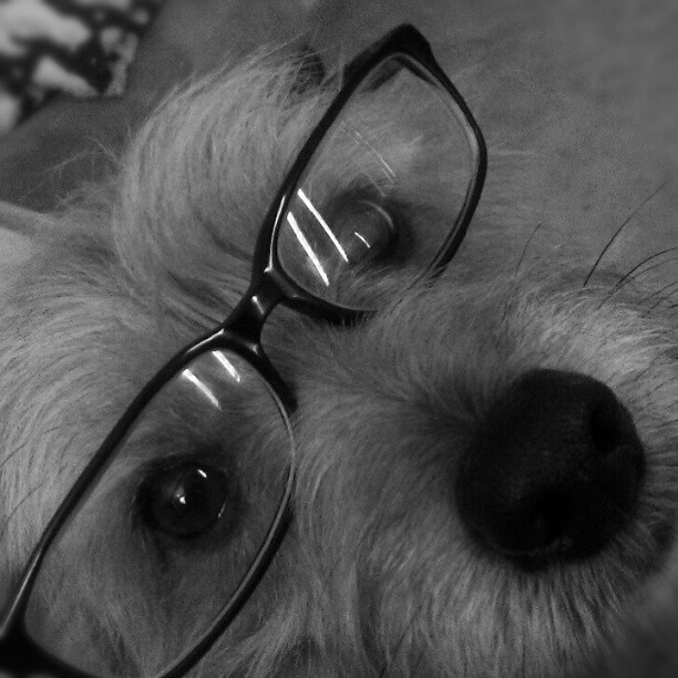 The Intellectual. #Noel #instagrampets #instapets #cuteness  (Taken with Instagram)