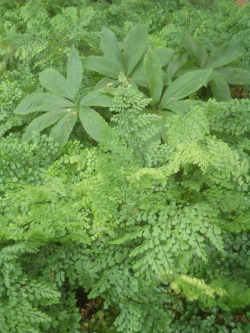 Adiantum capillus-veneris, (Southern maidenhair fern, Black maidenhair fern, Venus hair fern) growing in a shady corner of Piet Oudolf's Garden, Hummelo, Netherlands