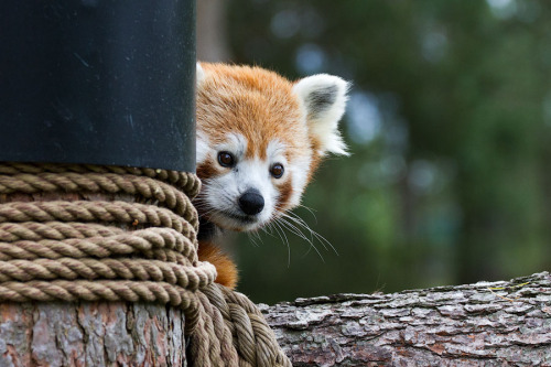 earthandanimals:  Red Panda! The cutest animal to ever exist! Photo by Alexander Dragunov *Please do not remove the credit or change the source.*