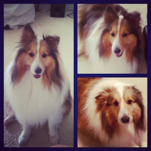 Waffle! #pets #sheltie #dog  (Taken with Instagram)