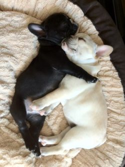French Bulldog puppies!