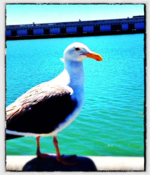 China Basin seagull