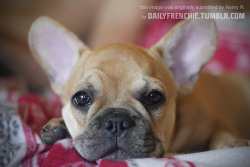 dailyfrenchie:  Frenchie Pedro, 3 months years old from France. by Remy  Pedro my frenchie bulldog