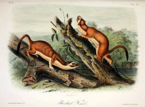 biomedicalephemera:  Bridled (Long-Tailed) Weasel (Mustela frenata) More medieval medicine: For deafness or headache: Take one weasel heart, coat in wax, and place in ear canal. Leave in place for at least one day. (The Subtleties of Diverse Creatures. Hildegard of Bingen, ca. 1160.) Popular Science Monthly, Vol. 87. Edited by J. McKeen Cattell, 1915. Image: Viviparous Quadrupeds of North America. John James Audubon, 1848.