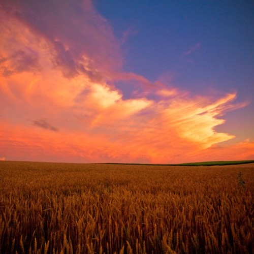 lorenzemlicka:  Of Sunsets and Wheat Fields - #landscape #photo (Taken with Instagram)
