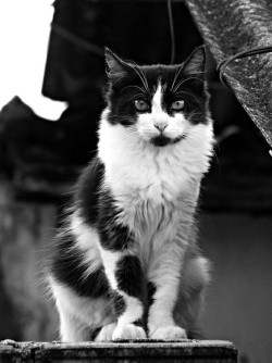 worldlyanimals:  Black and White Cat (Isabelle Santos)